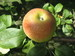 manzana esperiega 2