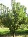 arbol manzano 3