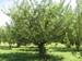 arbol manzano 5