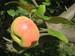 manzana esperiega 5