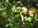 rama manzanas